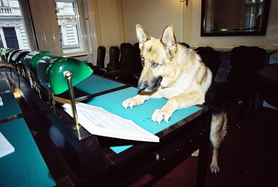 Kommissar Rex beim Aktenstudium ... - Bildquelle: Ali Schafler Sat.1