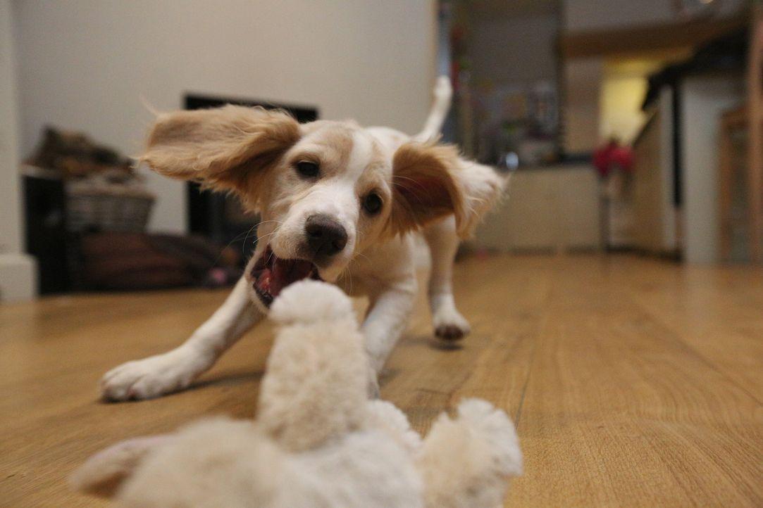 Welpe Poppy wirbelt das Leben seiner neuen Besitzer ordentlich durcheinander ...