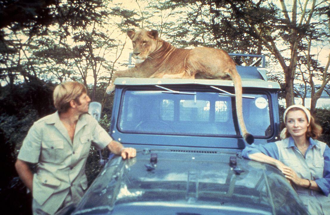 George (Bill Travers, l.) und Joy (Virginia McKenna, r.) sehen nach und nach die Notwendigkeit ein, Löwendame Elsa wieder in die Wildnis zu entlasse... - Bildquelle: 1965, renewed 1993 Columbia Pictures Industries, Inc. All Rights Reserved.