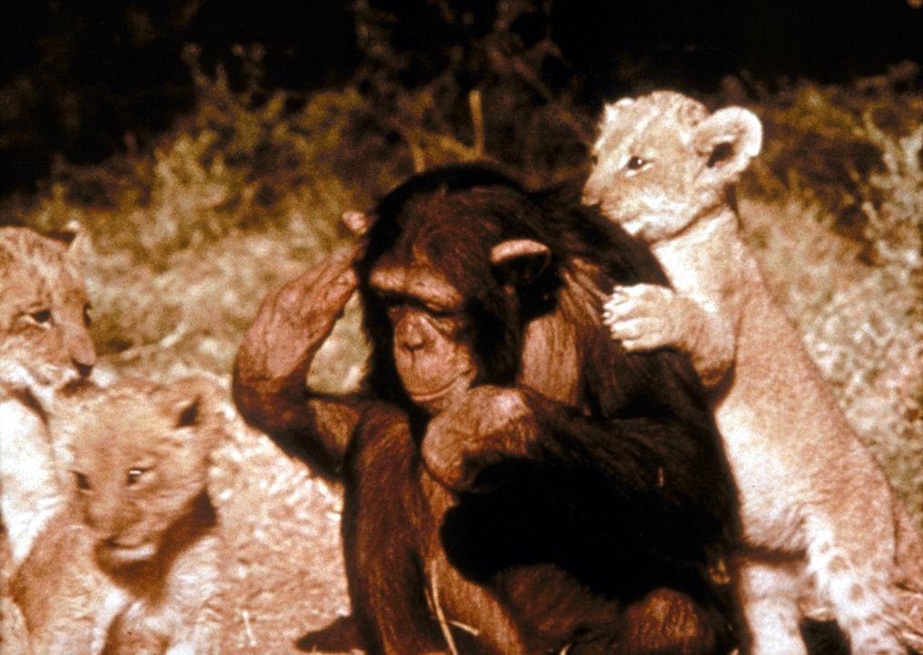 Das Schimpansenweibchen Judy spielt mit Löwenbabys ... - Bildquelle: CBS Television