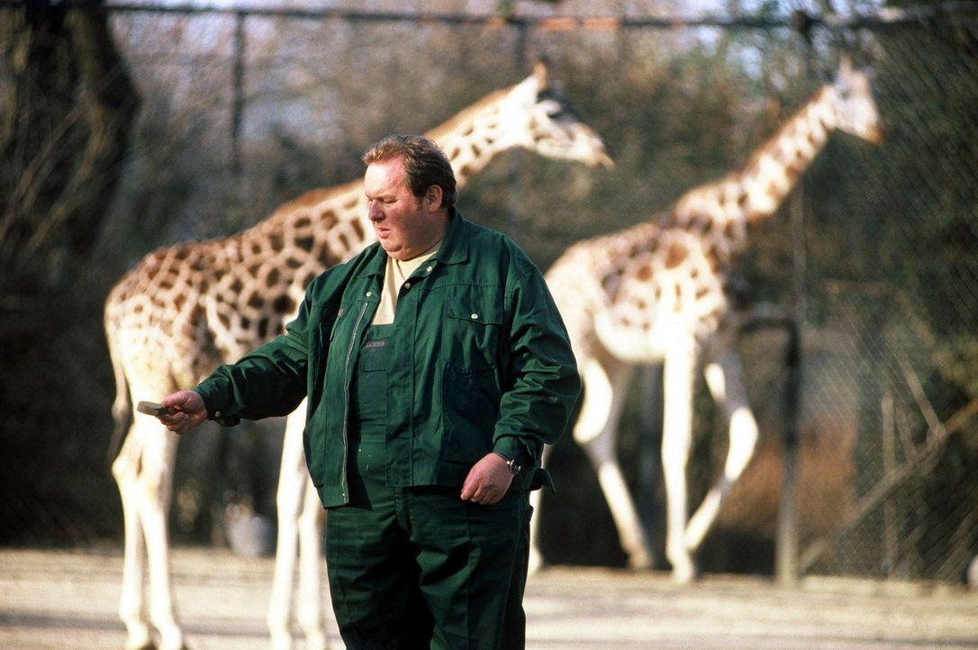 Ein Tierwärter wurde im Zoo von einem Löwen angefallen und getötet. Engel (Ottfried Fischer) übernimmt die Story und schleicht sich als Tierpfleger... - Bildquelle: Krumwiede SAT.1 / Krumwiede