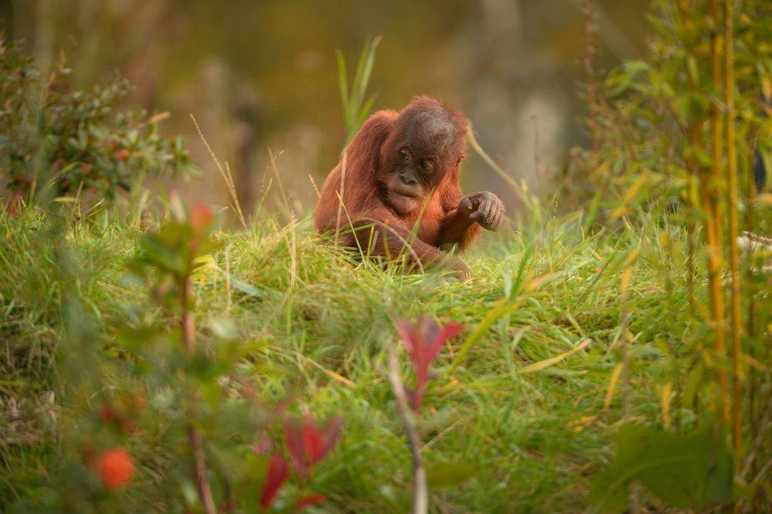 Im Affenhaus gibt es einen Ausbruch: Die Orang-Utans befreien sich aus ihrem... - Bildquelle: Blast! Films