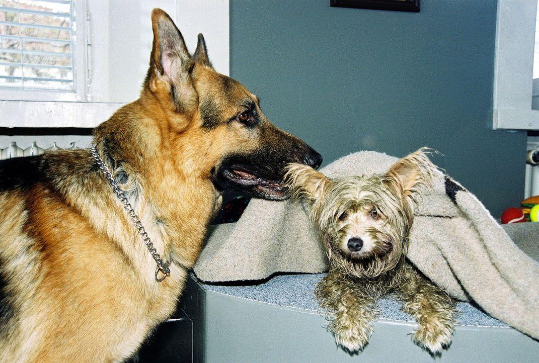Rex kümmert sich mit fast übertriebener Fürsorge um den kleinen Hund. - Bildquelle: Ali Schafler Sat.1