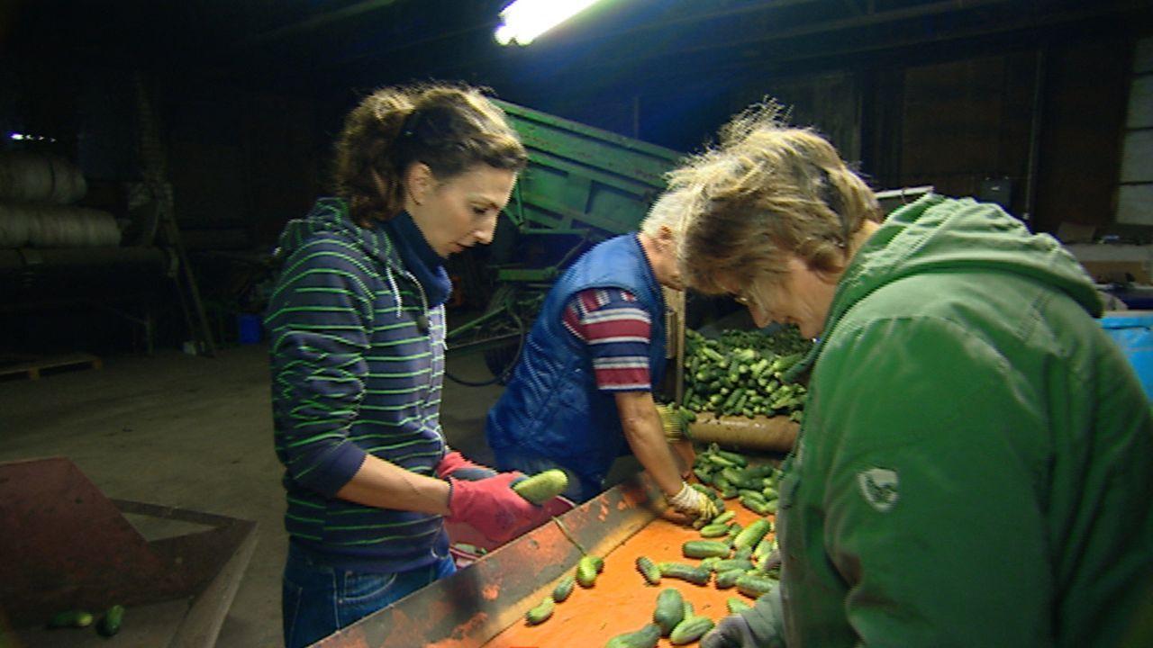Alles im grünen Bereich? Knochenjob Gurkenernte: Tina Dauster (l.), eine Reporterin, arbeitet eine Woche lang bei der Gurkenernte im Spreewald mit... - Bildquelle: SAT.1