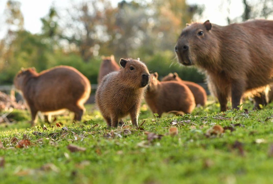 Auf der Capybara-Wiese - Bildquelle: Blast! Films