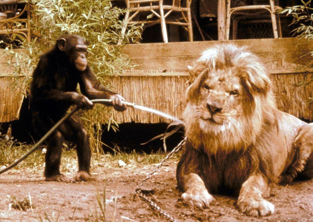 Zwei weitere Bewohner der Station sorgen ständig für neuen Wirbel. Clarence, der schielende Löwe, und Judy, das umtriebige Schimpansenweibchen, sind... - Bildquelle: CBS Television