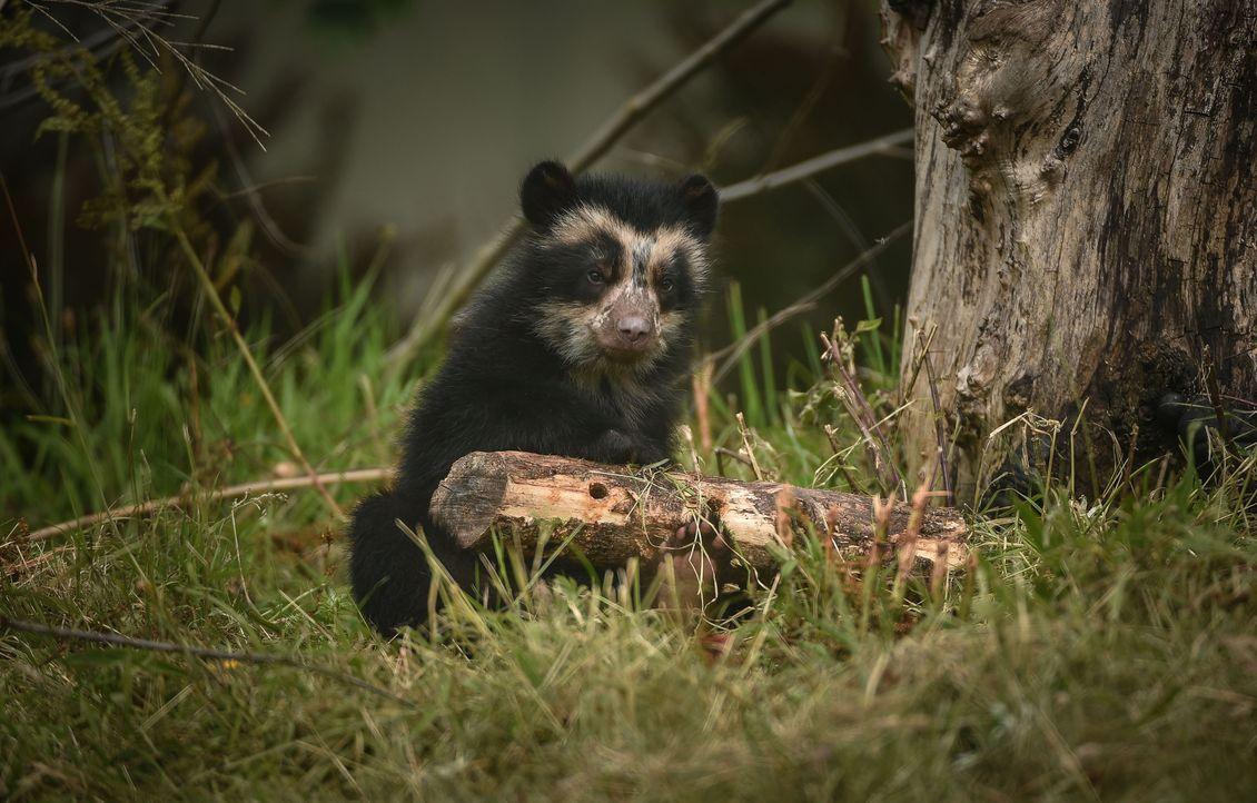 Der Zoo bekommt Nachwuchs: Brillenbär Weibchen Lima hat ein drei Monate alte... - Bildquelle: 2017-2018, Blast! Films Ltd