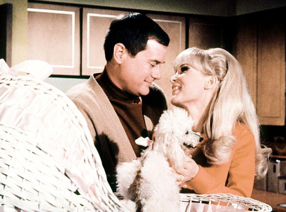Jeannie (Barbara Eden, r.) und Tony (Larry Hagman, l.) freuen sich über den magischen, vierbeinigen Zuwachs ihrer Familie: Mr. und Mrs. Djinn-Djinn - Bildquelle: Columbia Pictures