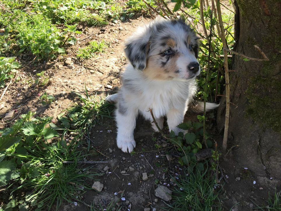 Familie Zieglerski möchte einen Hund. Doch wird es ein Australian Shepherd Welpe werden? - Bildquelle: SAT.1