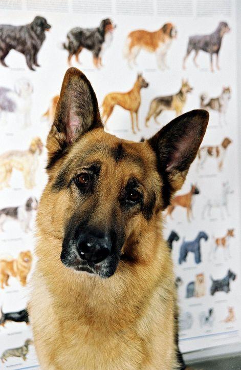 Rex unterstützt die Kriminalpolizei Wien mit aller Kraft.