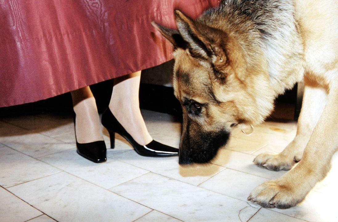 Rex - ganz der Spürhund. Wer verbirgt sich hinter dem Vorhang? - Bildquelle: Ali Schafler Sat.1