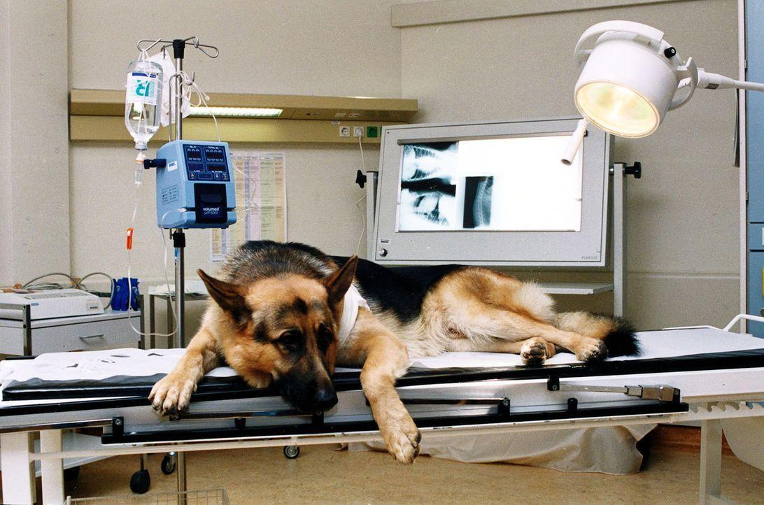 Bei einem nächtlichen Schießduell ist Rex verletzt worden. - Bildquelle: Ali Schafler Sat.1