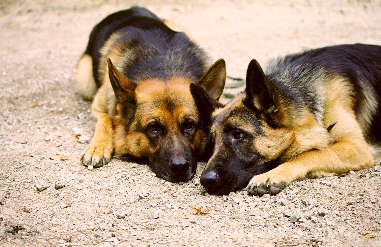 """Rex (l.) ist ganz verliebt: Hundedame Senta (r.) hat ihm den Kopf verdreht. Leider wurde Senta aber extra """"engagiert"""", um Rex in die Falle zu locken... - Bildquelle: Ali Schafler Sat.1"""