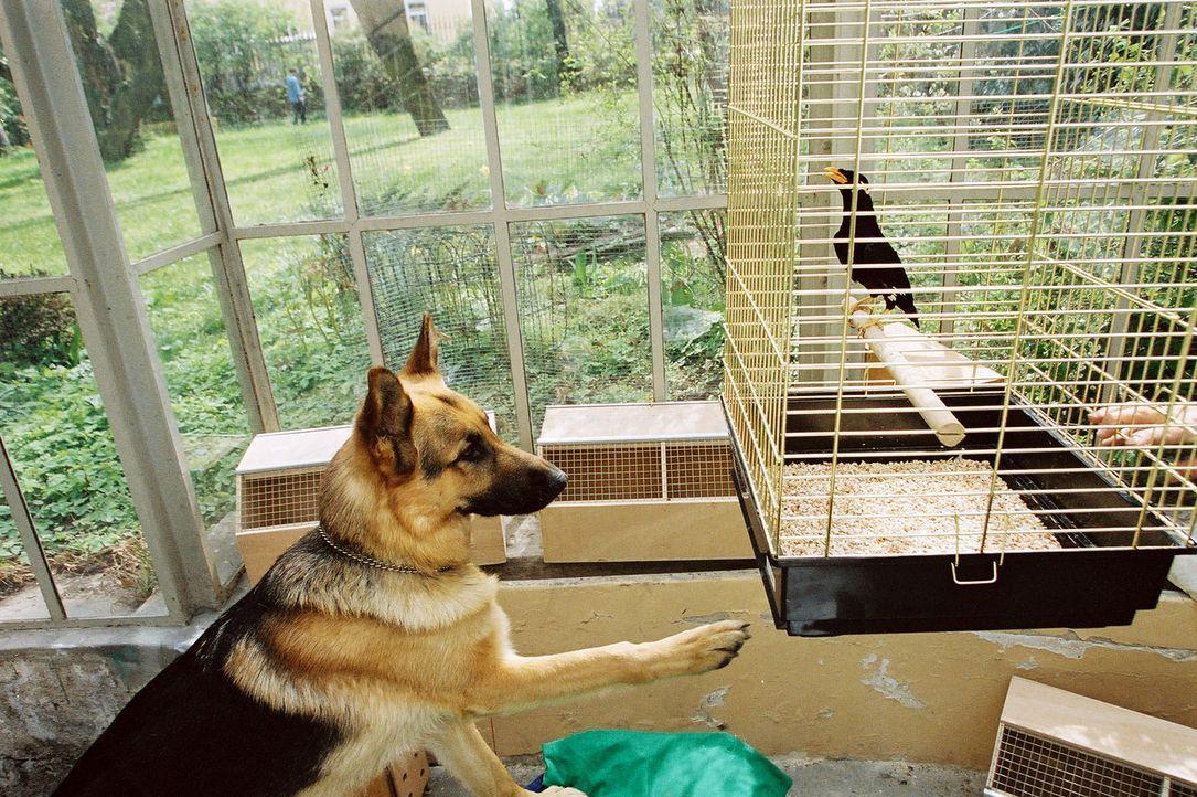 Rex ist vollkommen verwirrt. Warum hat der Vogel gebellt? - Bildquelle: Ali Schafler Sat.1