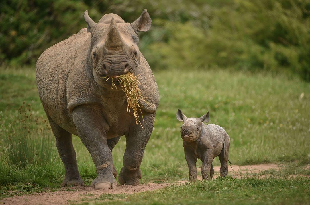 Der Chester Zoo bekommt Nachwuchs: Spitzmaulnashorn Kitani steht kurz vor de... - Bildquelle: 2017-2018, Blast! Films Ltd
