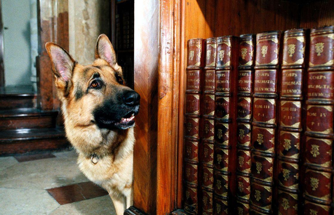 Rex schnüffelt sich durch die Österreichische Nationalbibliothek. Es geht um ein geheimnisumwittertes Rezept, das anscheinend lebensverlängernd wirk... - Bildquelle: Ali Schafler Sat.1