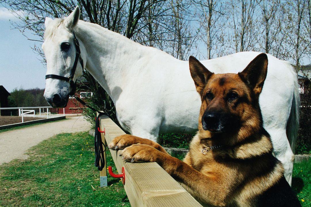 Ein Typ zum Pferdestehlen: Rex hat sich in ein Pferd verliebt... Der Schimmel steht auf dem Reiterhof von Frau Sikora, deren Mann tot aufgefunden wu... - Bildquelle: Ali Schafler Sat.1
