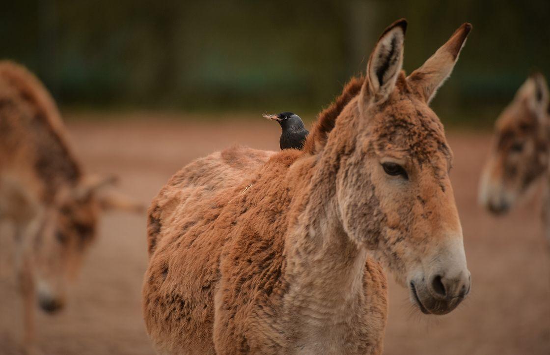 Bei den asiatischen Eseln ist es Zeit für die Paarung: Nach zwei Jahren in I... - Bildquelle: 2017-2018, Blast! Films Ltd