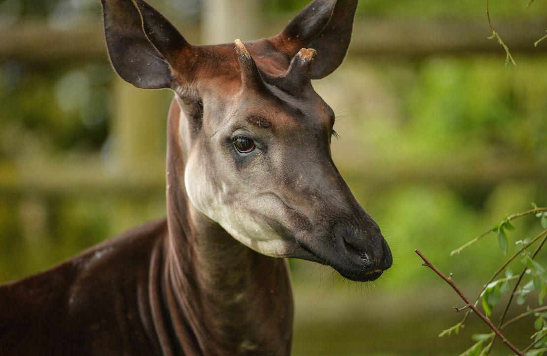 Bei den Okapis ist Paarungszeit: Der dreizehnjährige Stomp soll sich mit Art... - Bildquelle: Blast! Films
