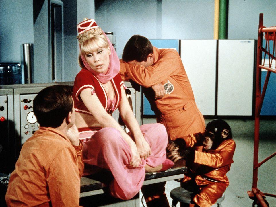 Tony (Larry Hagman, r.) und Roger (Bill Daily, l.) wollen den Schimpansen Sam für einen Raumflug vorbereiten, als Jeannie (Barbara Eden, M.) erschei... - Bildquelle: Columbia Pictures