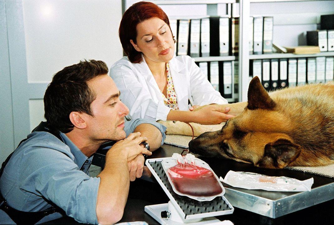 Rex spendet unter den wachsamen Augen der Tierärztin (Katrin Reisinger, r.) und Marc (Alexander Pschill, l.) Blut. - Bildquelle: Ali Schafler Sat.1