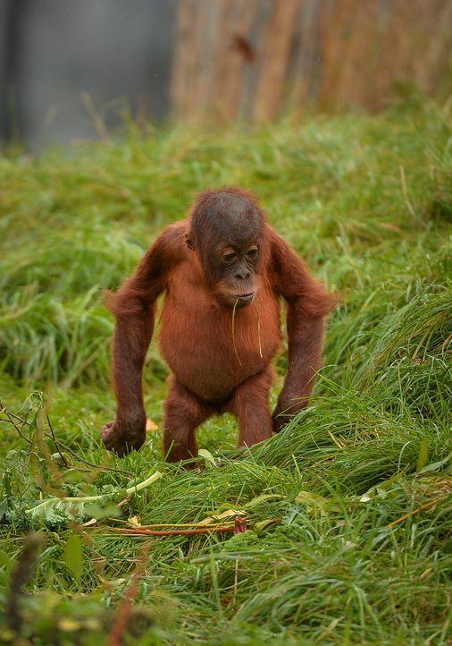 Ausbruch der Orang-Utans - Bildquelle: Blast! Films