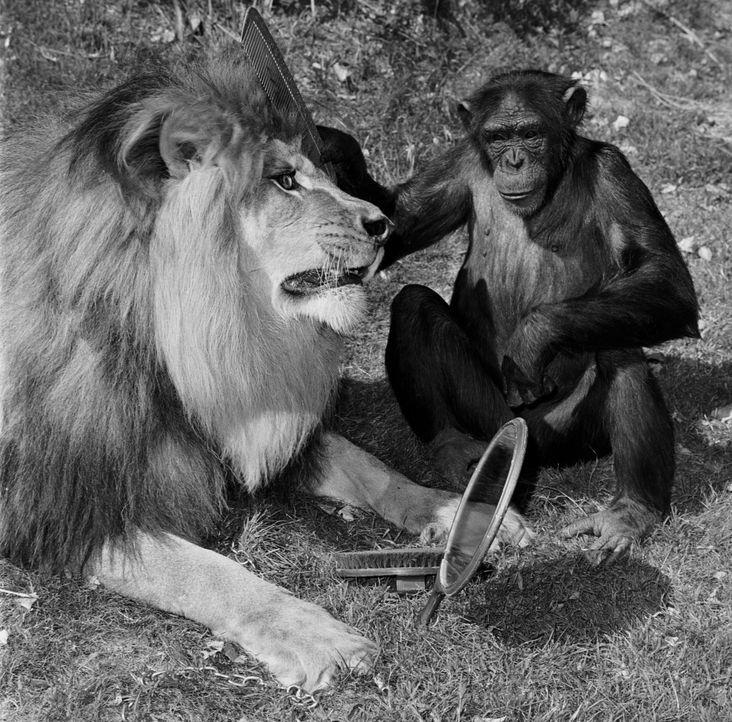 Auch die Schimpansin Judy und der schielende Löwe Clarence wollen dem Team helfen, sind manches Mal aber auch Auslöser für ein wildes Chaos ... - Bildquelle: 2007 Warner Brothers