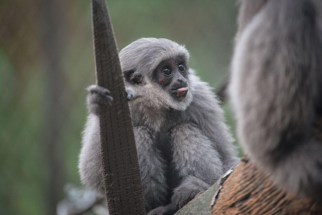 Ein Gibbon mit Höhenangst - Bildquelle: Blast! Films