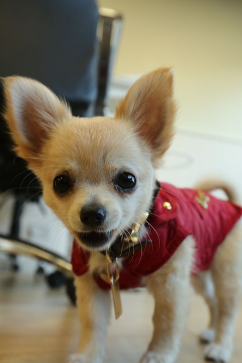 Findet ein neues Zuhause: Chihuahua Chloe wird das neue Mitglied im Team eines Nagelstudios ...