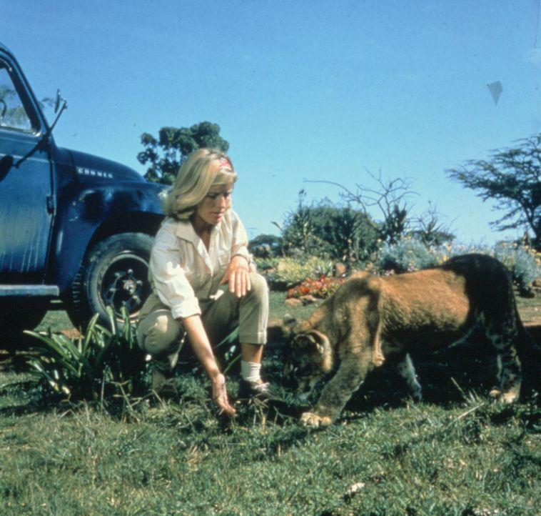 Wird die Wildhüterin Joy (Virginia McKenna) die junge Löwin Elsa jemals wieder in die Wildnis entlassen können? - Bildquelle: 1965, renewed 1993 Columbia Pictures Industries, Inc. All Rights Reserved.